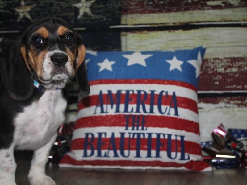 Beagle-Male-TRI-3123584-Pet City Houston