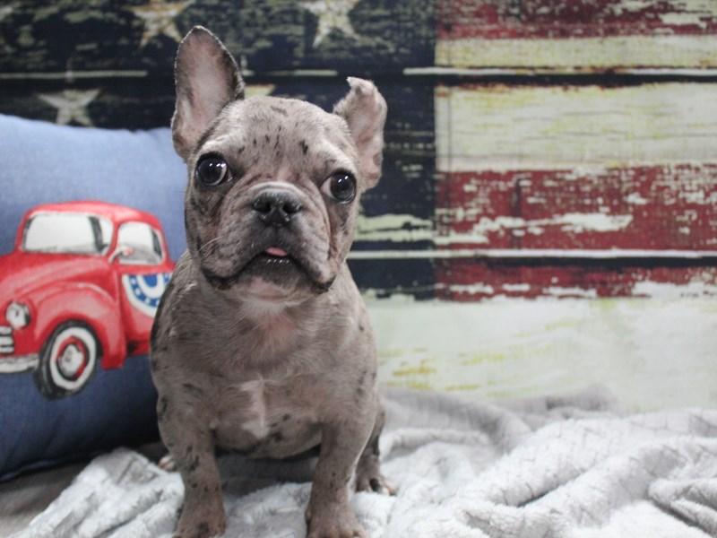 French Bulldog-Female-BLUE MERLE-3027620-Pet City Houston