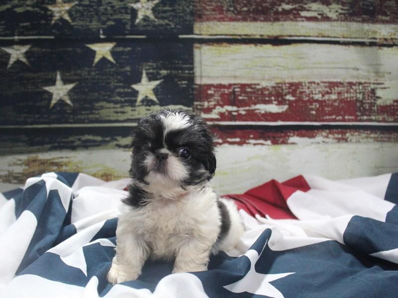 Pekingese-Female-BLK/WHT-3133806-Pet City Houston