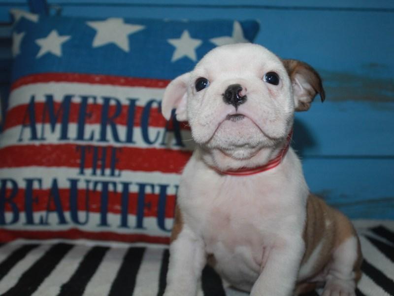English Bulldog-Female-Fawn/Wht-3159126-Pet City Houston