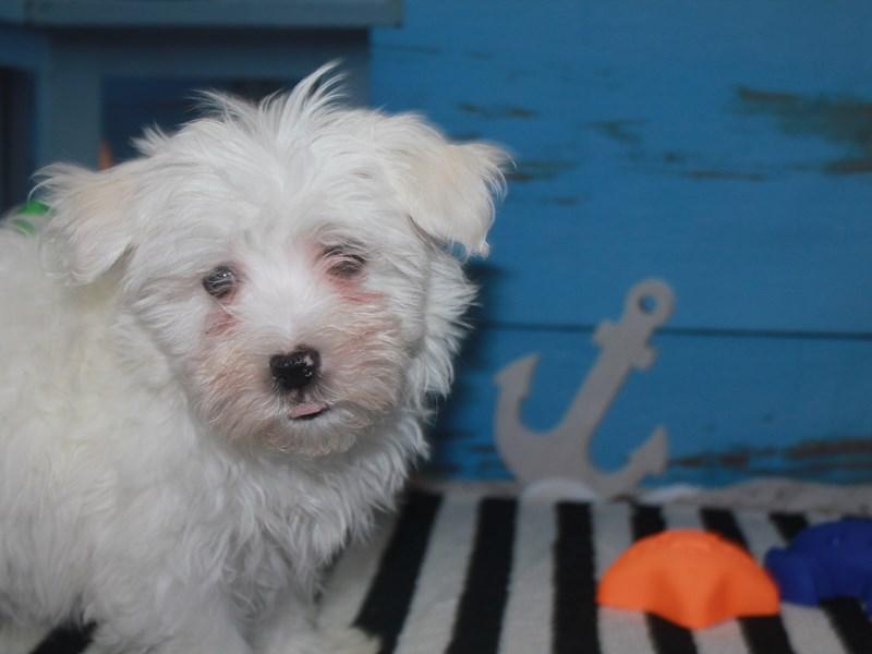 Maltese-Male-WHITE-3159152-Pet City Houston