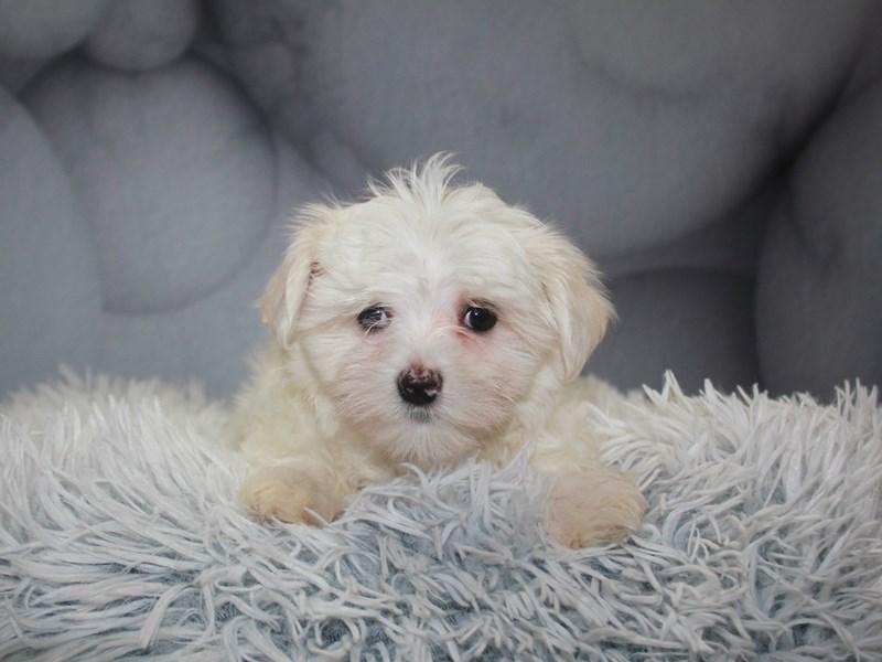 Maltese-Female-WHITE-3183612-Pet City Houston