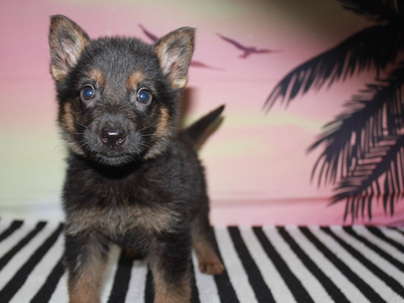 German Shepherd-Male-BLK/TAN-3123552-Pet City Houston