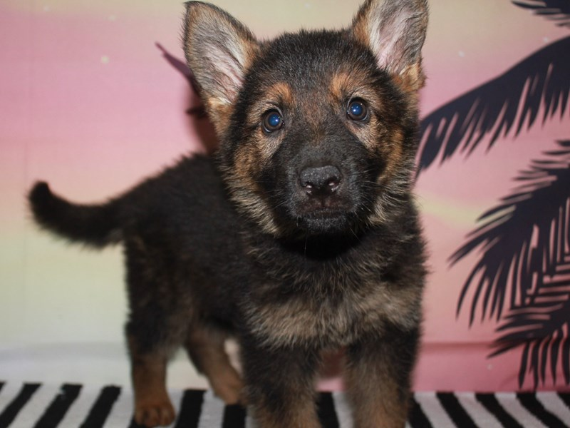 German Shepherd-Female-SABLE-3123554-Pet City Houston