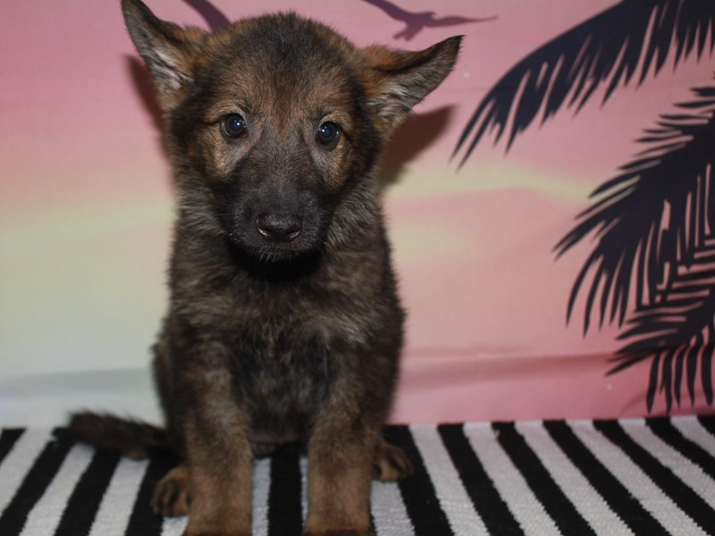 German Shepherd-Female-SABLE-3123515-Pet City Houston