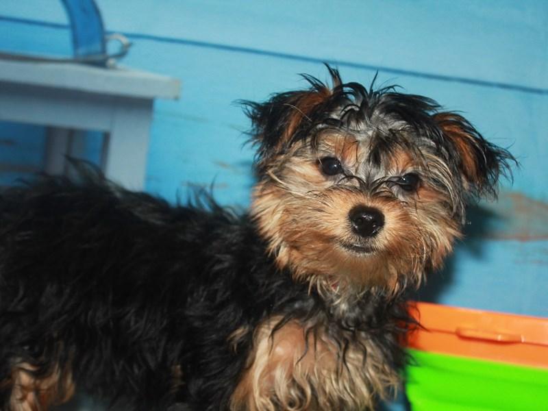 Yorkshire Terrier-Female-Black & Tan-3145616-Pet City Houston