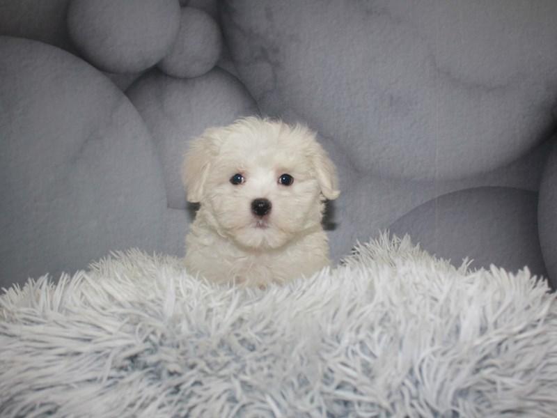 Maltese-Male-WHITE-3183579-Pet City Houston
