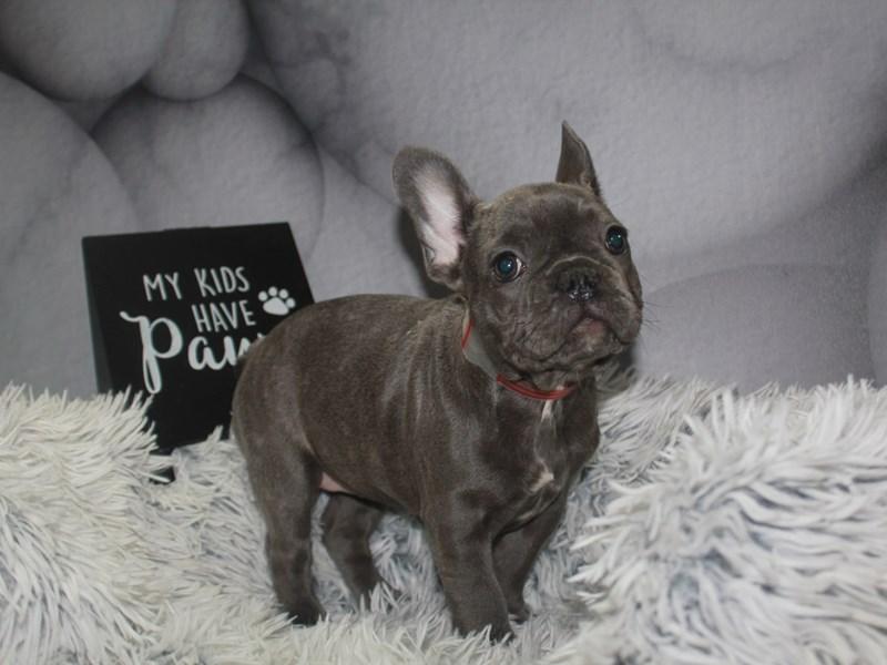 French Bulldog-Female-BLUE-3211314-Pet City Houston