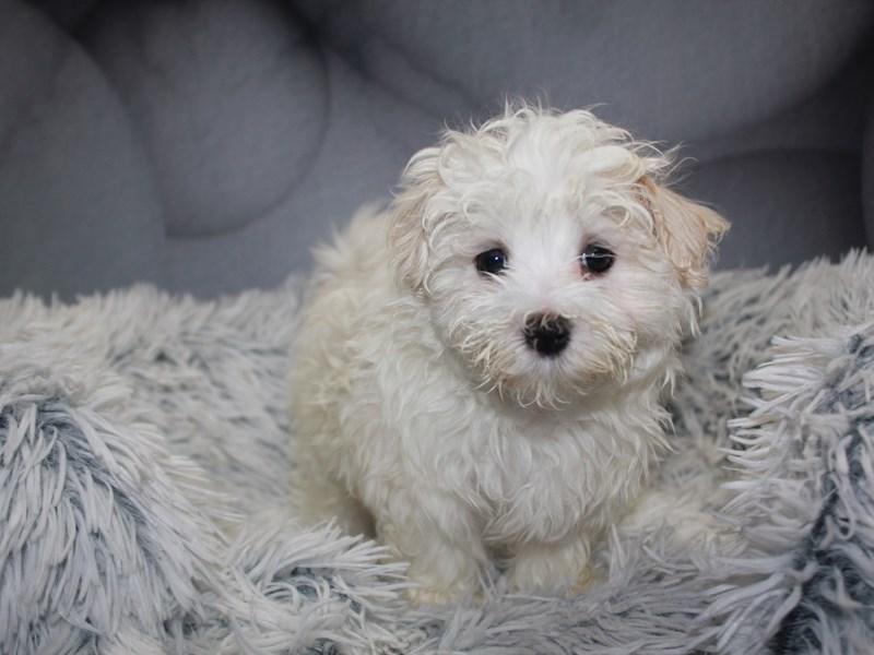 Maltese-Male-WHITE-3211464-Pet City Houston