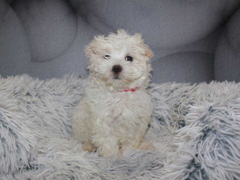 Maltese-Female-WHITE-3211474-Pet City Houston
