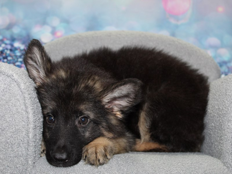 German Shepherd-Male-BLK/TAN-3255731-Pet City Houston