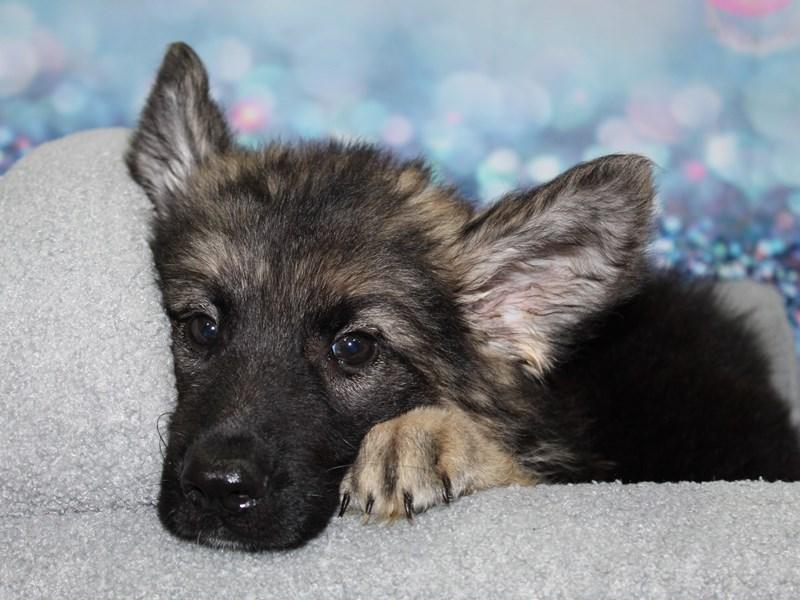 German Shepherd-Male-BLK/TAN-3255736-Pet City Houston