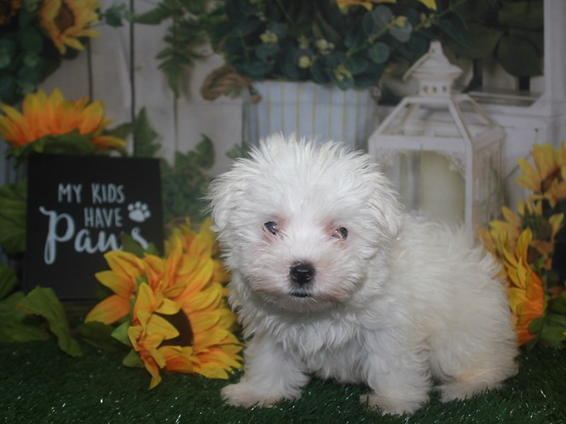 Maltese-Female-WHT-3263376-Pet City Houston